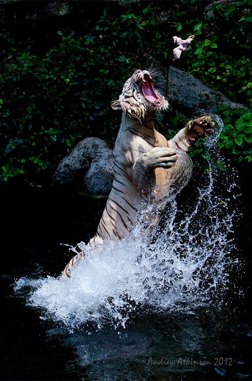 Tigersprang-0